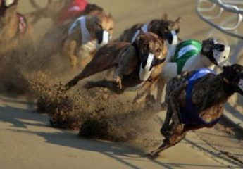 Como apostar em corrida de galgos